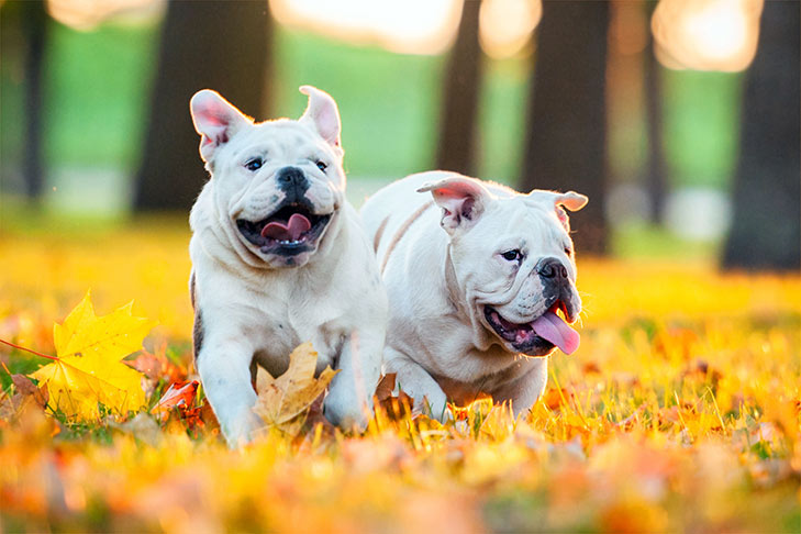 Two Bulldog playing in the autumn leaves