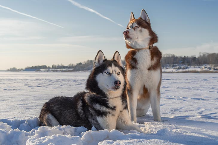 One black and white Siberian Husky and one brown and white Siberian Husky in snow field