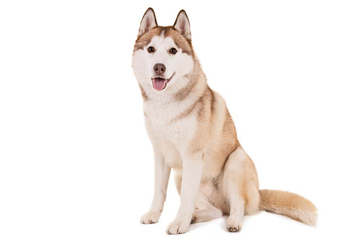 Sitting Siberian Husky in the white background
