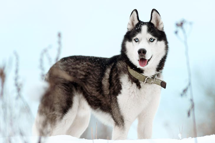 A Siberian Husky standing in the outdoor