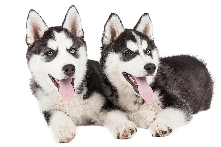 Two black and white Siberian Husky laying down