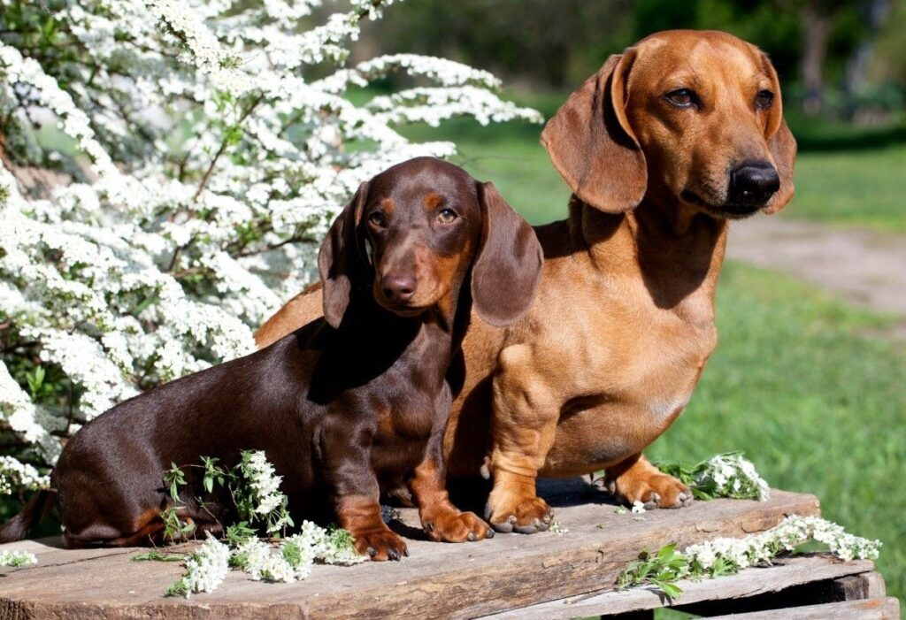 Two Dachshund sitting on the bench