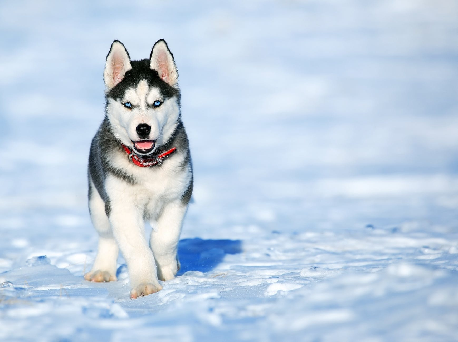 An snow field with standing Siberian Husky puppy