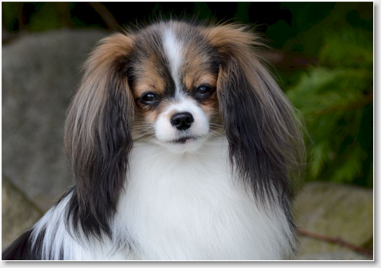 Phalène - Dog Breed Information ( Health, Appearance, Personality, &