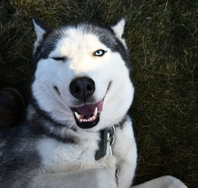 A Smiling Siberian Husky with a wink eye