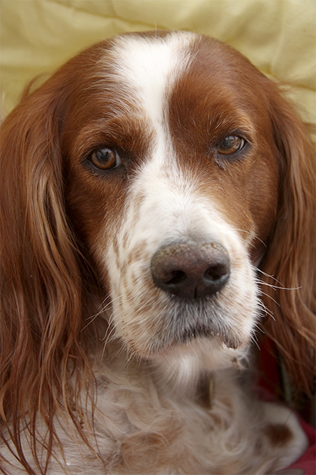Irish Red and White Setters - Breed Information (Health ...