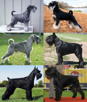 The Giant, standard, and miniature Schnauzer
