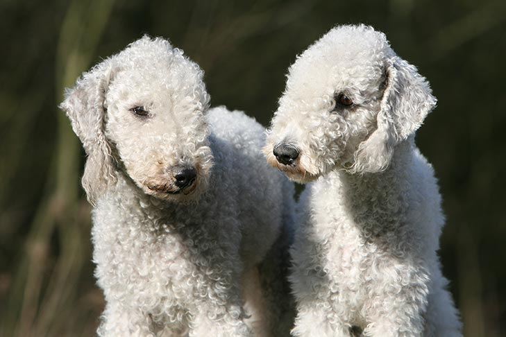Two Bedlington Terrier looking at each other