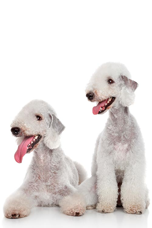 Two Bedlington Terrier
