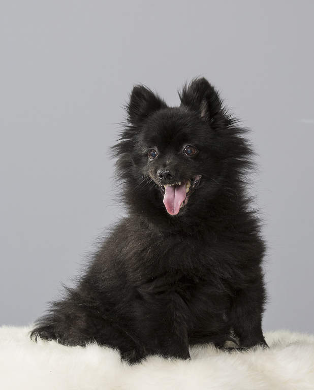 Balck Klein spitz sitting on white fur chair
