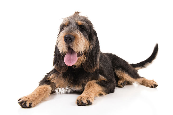 Otterhound laying down with white background