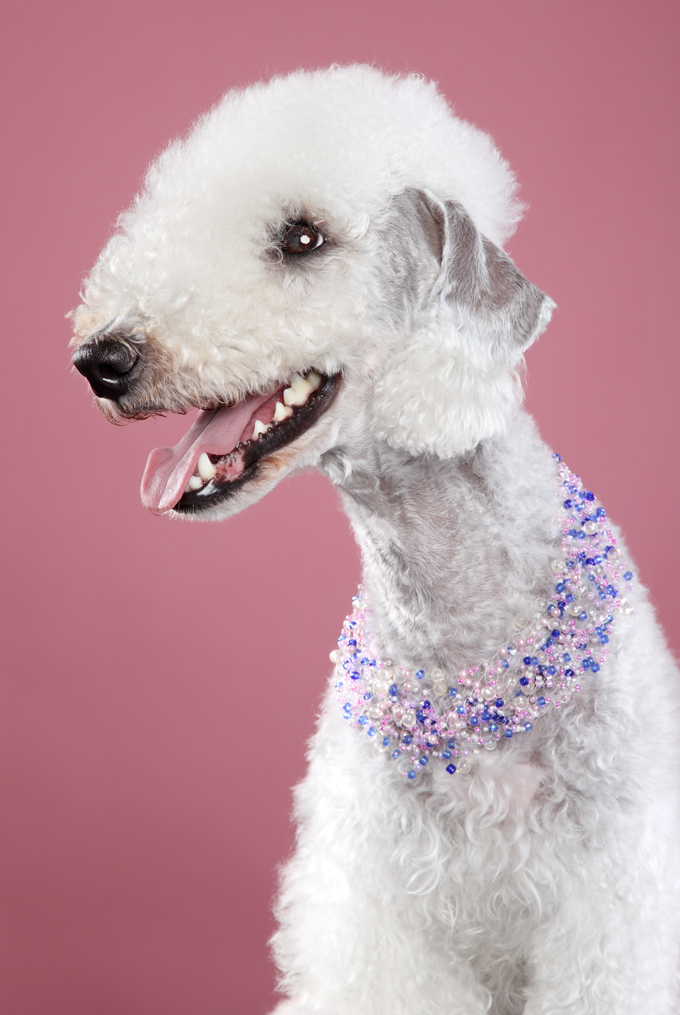 Bedlington Terrier wearing a necklace