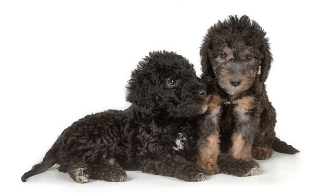 A two black with tan Otterhound puppies