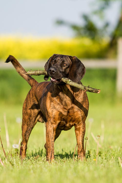 Hanoverian Scenthound playing with a branch