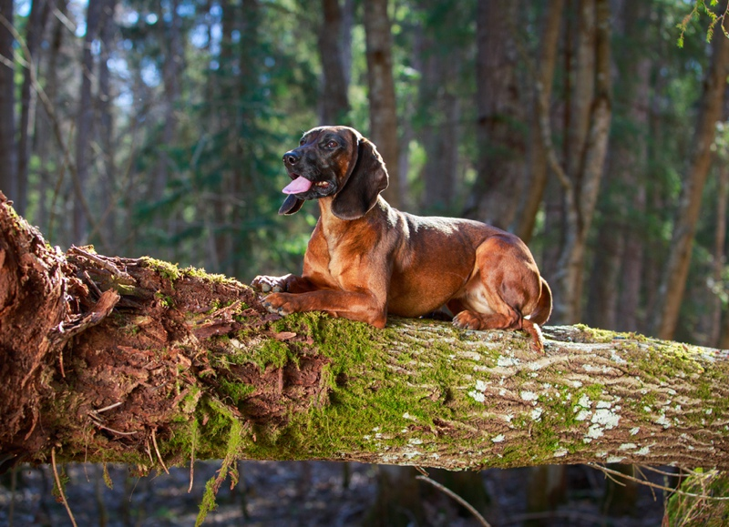 A Bavarian Mountain Hound relaxing on top of wood log that is bend