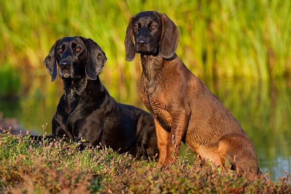 Two Hanoverian Scenthound relaxing near in the pond