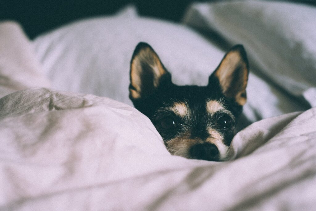 Anemia In Dogs