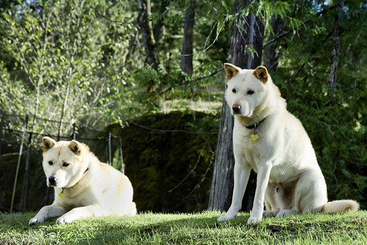 Two white Korean Jindo in the forest