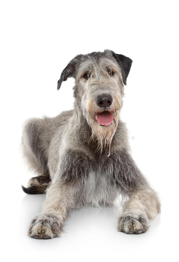 An Irish Wolfhound smiling while laying down