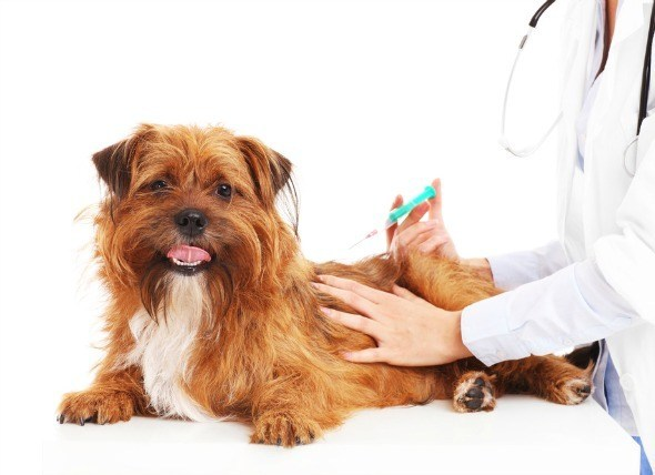 a dog getting an injection