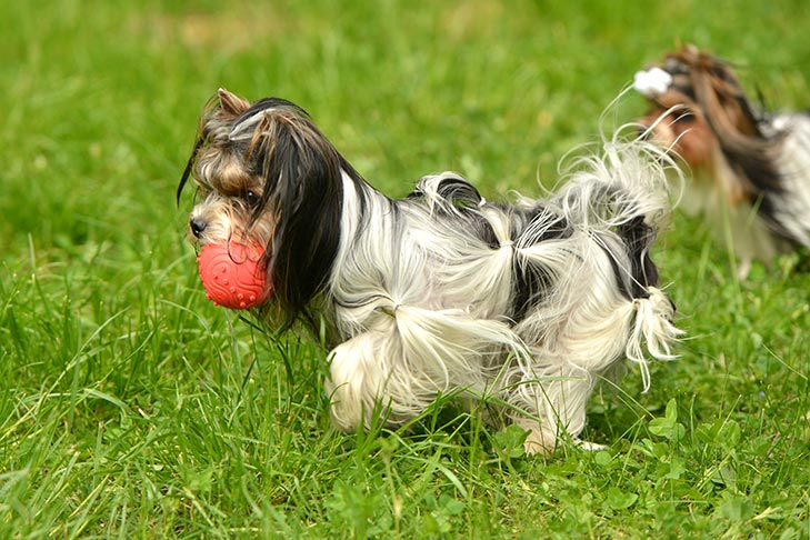 Biewer Terrier playing with ball