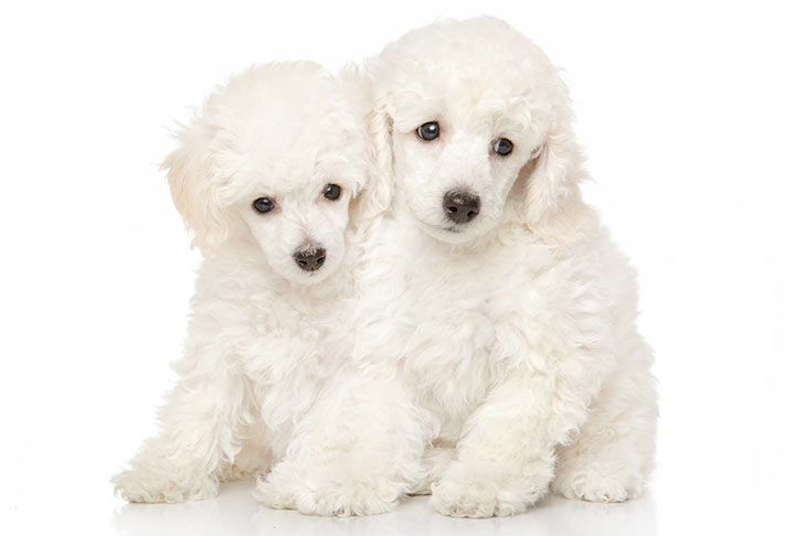 Two white Miniature Poodle puppies