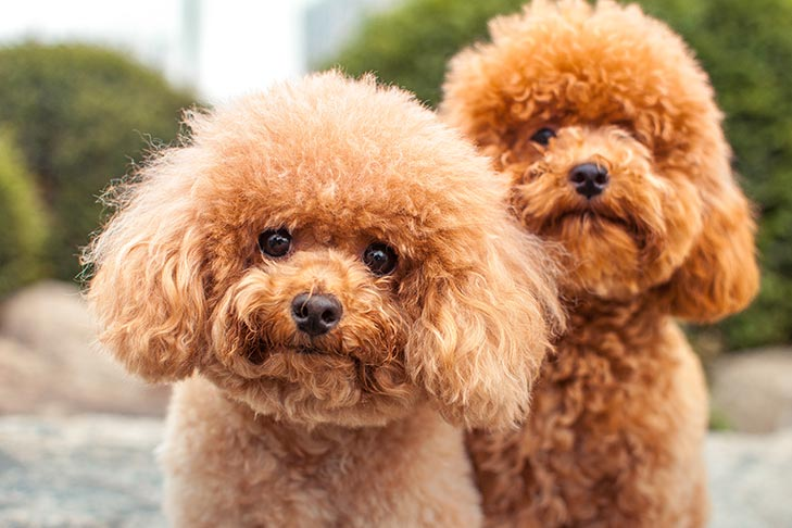 Two Miniature Poodle