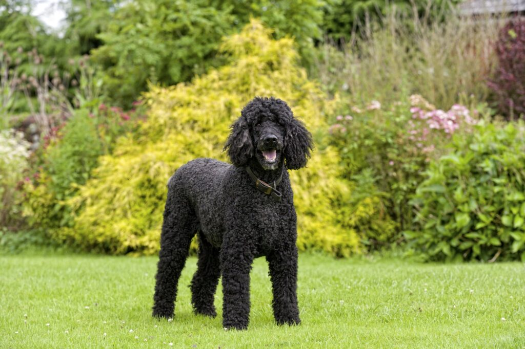 Standard Poodle standing on the grass