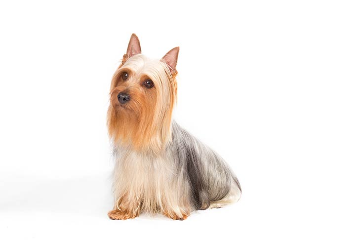 Silky Terrier with white background