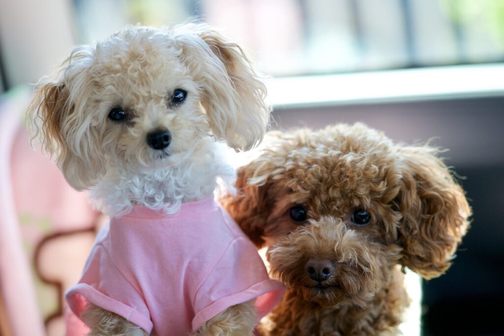 White and brown Toy Poodle puppies
