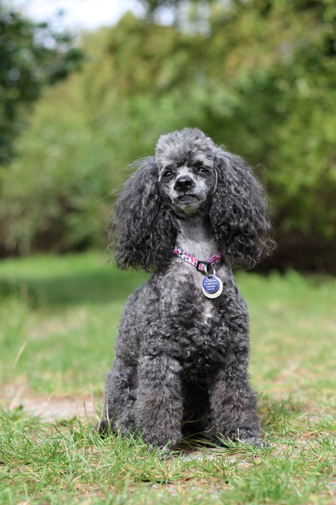 Miniature Poodle sitting on the grass