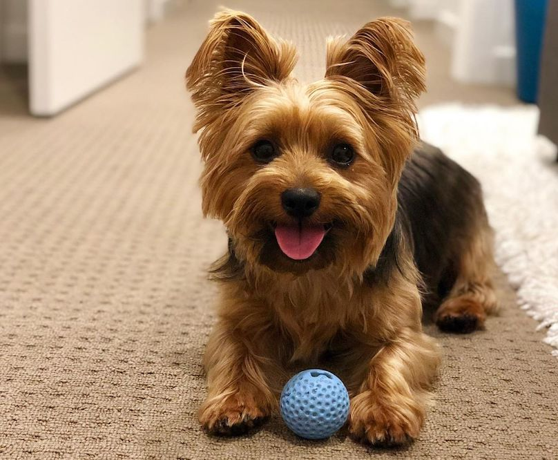 Silky Terrier with ball