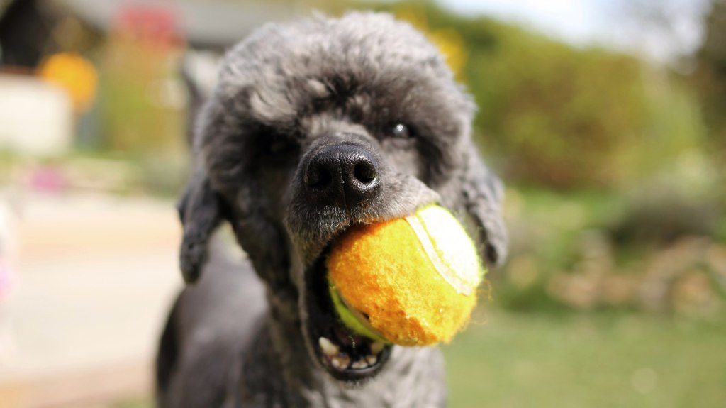 Standard Poodle playing ball