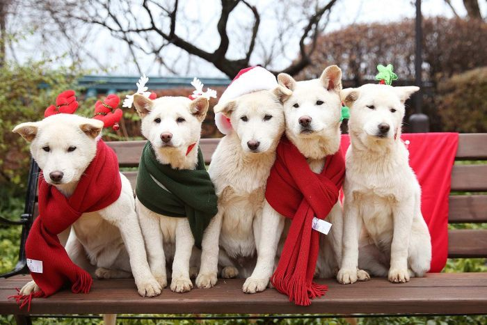 5 White dogs sitting on the bench wearing a scarf