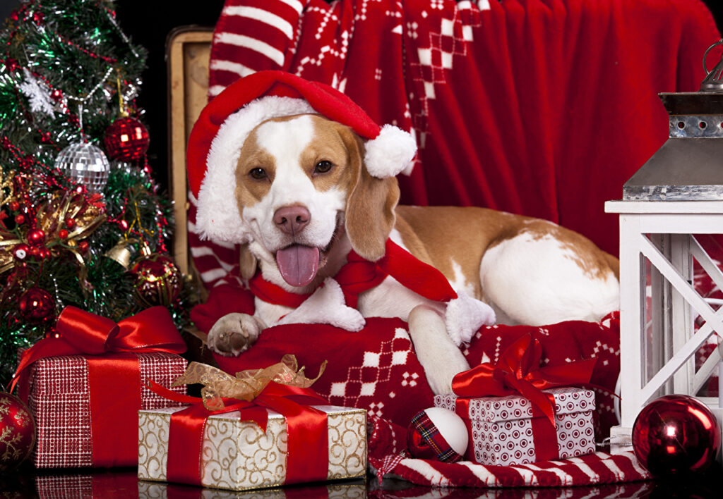 A beagle dog surrounded by the gift
