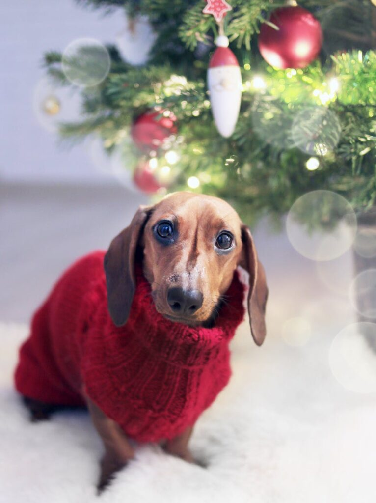 A Dachshund sitting beside the Christmas tree wearing a red sweater