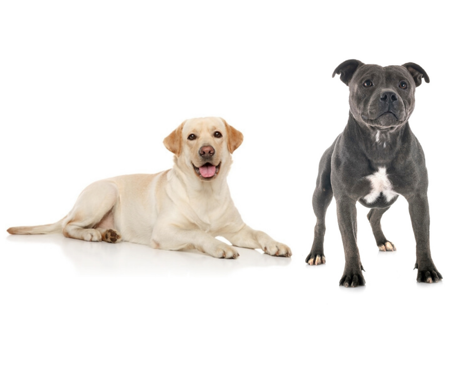 Labrador and Staffordshire Bull Terrier