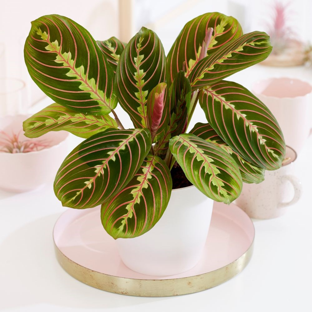 A beautidul prayer plant Air Purifying Plants Safe for Dogs