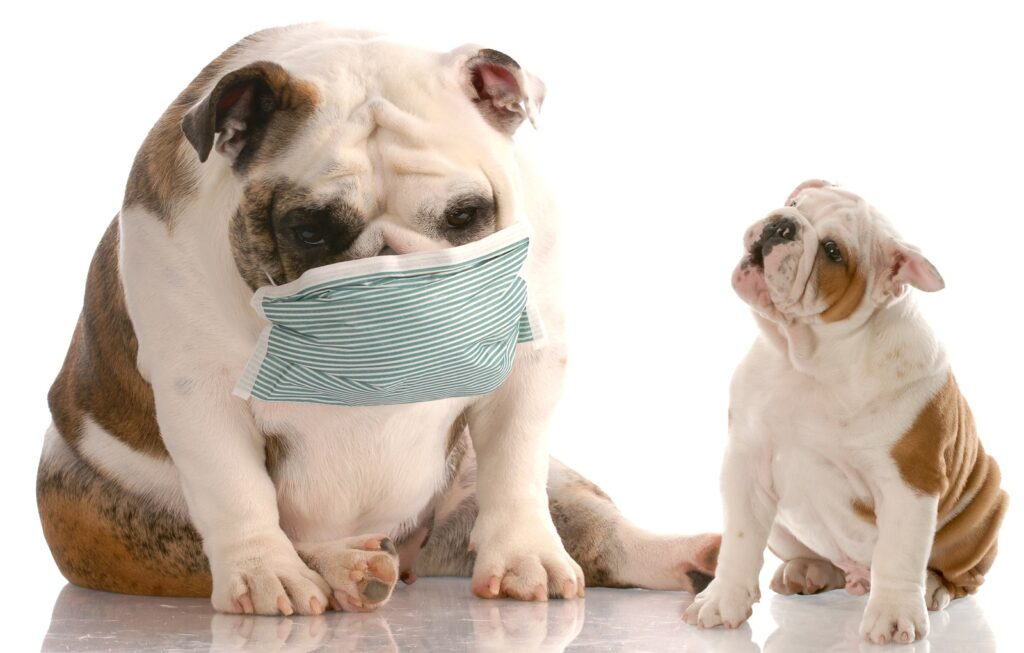 How to Prevent Canine Parvovirus? English bulldog wearing a mask for her puppy not to get sick too.